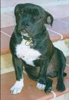 A wide chested, black with white Staffordshire Bull Terrier dog sitting on across a brick step looking forward and its head is slightly tilted to the right.