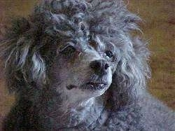 Close up head shot - A fluffy gray Toy Poodle is sitting across a carpeted surface and it is looking to the right.