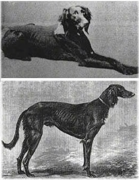 Top photo - A black and white image of a Saluki laying on a surface. Bottom photo - Right Profile - A black and white image of a black and white Sauki that is looking to the right. The dog has a high arch.