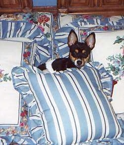 A black and white with tan Rat Terrier is laying in a pile of pillows and it is looking forward. It has large perk ears.