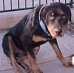 A black and tan Rottweiler dog is sitting with its head down on the concrete ground with a fence behind it.