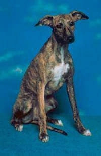 A brindle with white Whippet dog is sitting on a blue carpet and there is a blue background with a sky on it. The dog has a long skinny snout, long front legs and ears that stick out to the sides.
