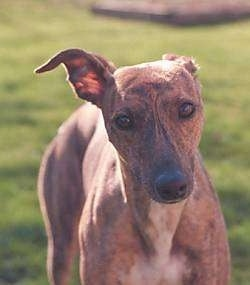Close up - A brown with white Whippet dog that is standing on grass and it is looking forward. It has a long snout, a black nose and one ear is pinned back while the other ear is standing up and folded over at the tip. Its eyes are brown.