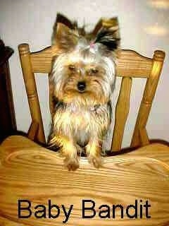 A brown with black Yorkie is standing up against the tray part of a wooden high chair. It has perk ears, a small black nose and small dark eyes.
