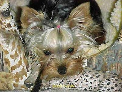 Close up - A black with tan Yorkie is laying down on a dog bed. It has a pink rubber band in its hair holding it out of its round dark eyes.