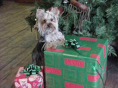 A black with cream, long coated Yorkshire Terrier toy sized dog standing up against a big green with red gift that is under a christmas tree.