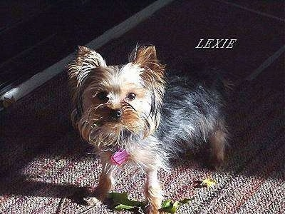 The front left side of a black with brown Yorkshire Terrier that is standing across a rug. It is looking up and there are leaves under it. Above it is the word - LEXIE