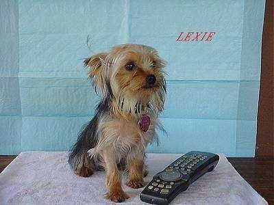A black and brown Yorkie is sitting on a towel behind a remote and it is looking to the right. Above it is the word in red letters - LEXIE. The dog is almost the same size as the remote.