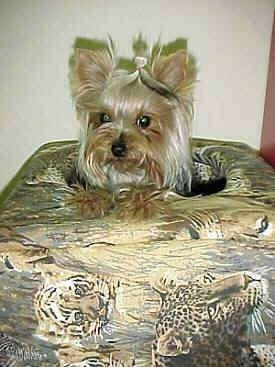 A cream and black Yorkshire Terrier is laying on top of a cushion that has a lot of big wild cats printed on it.
