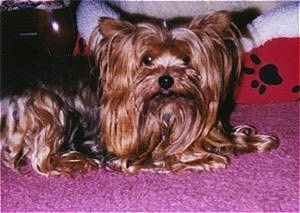 The right side of a thick, long coated, black and brown Yorkshire Terrier dog laying across a pink carpet. There is a red with white dog bed behind it. It has a black nose and round wide eyes.