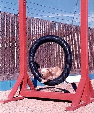 Lindsey the Yorkie is jumping through a circular black tube obstacle on the agility course