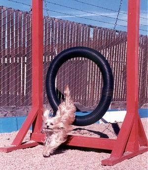 Lindsey the Yorkie landing the jump through the agility circular black tube obstacle