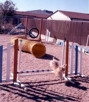 Lindsey the Yorkshire Terrier is landing the bars on an agility obstacle course