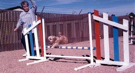 Lindsey the Yorkshire Terrier is jumping over a bar on an agility course. Lindseys owner is right next to the obstacle watching