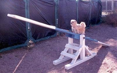 Lindsey the Yorkshire Terrier is walking up a blue and white seesaw obstacle on an agility course