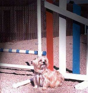 Lindsey the Yorkie is sitting next to an agility obstacle pole.