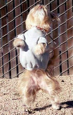 Lindsey the Yorkie is standing up balancing on her hind legs in a grey sweater