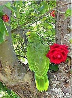 The back of a yellow crowned amazon Parrot that is standing in a tree and next to it is a red rose flower.