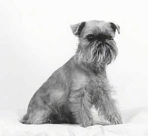 A black and white photo of a small wiry dog with longer hair on the face is sitting on a pillow