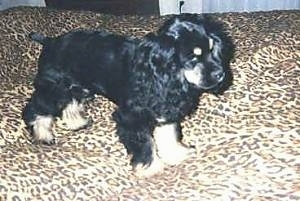 The right side of a black and tan American Cocker Spaniel Puppy that is standing on a leopard print bed