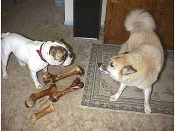A white with brown bulldog is standing behind 5 large bones. There is a tan with white dog standing on a rug looking at the bulldog as if it is woooing at him.