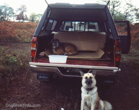 A brown pit bull dog is laying down in the back of a red Toyota pick-up truck with a back cap on the truck. The dog is on top of cardboard. There is a bucket of water on the back of the truck. There is another fluffy white with a black snouted dog sitting in front of the back of a truck