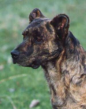 Azores Cattle Dog Image