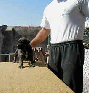 Cao de fila de Sao Miguel Puppy is standing on a wooden table at a construction site. Next to a person in front of a chainlink fence