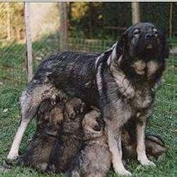 A Karst Shepherd is standing in grass nursing a litter of puppies that are all under her legs.