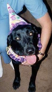 A black Labrador Retriever is sitting on a tan carpet wearing a white and purple clown hat and neck ring. Its head is tilted to the left and its mouth is open and tongue is out. There is a person in blue scrubs next to it with their arm around the dog.