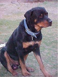 Beau Von Shotz the Rottweiler sitting outside looking into the distance