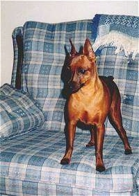Miniature Pinscher Puppy Dogs