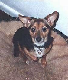 Basset Hound Chihuahua Mix