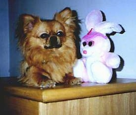 A fringe-eared, small, brown Chihuahua mix is laying on top of a brown wooden table next to a pink plush bunny.