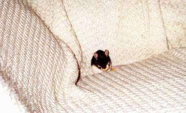 A black and white Mouse is sitting against the back of a white couch eating a banana chip.