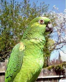 Close up side view - A green and yellow crowned Amazon Parrot is looking to the right.