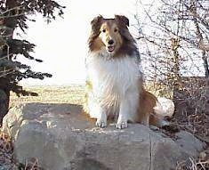 A brown with white and black Shetland Sheepdog is sitting on a large rock, it is looking forward, its mouth is open and it looks like it is smiling.