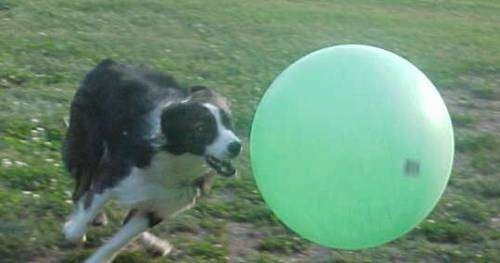 Shadow the Border Collie is running after a large green ball that is larger than he is.