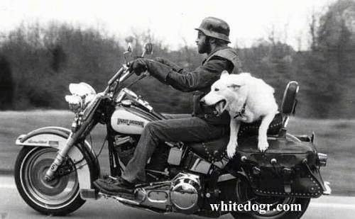 A White Shepherd is riding on the back of a moving motorcycle