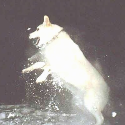 A White Shepherd is beginning to jump in the snow and there is snow flying all around it from the jump
