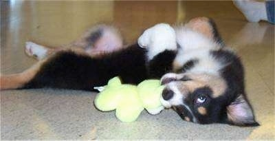 Sydney the Australian Shepherd puppy playfully laying on its back on tile with a plush toy in its mouth