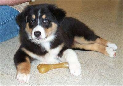 A tri-colored Australian Shepherd Puppy is laying on a tiled floor with a dog bone under its right paw and a person is sitting next to it.