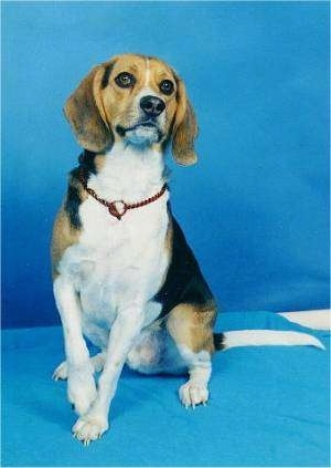This is 5 year old Kurgan, a Beagle Harrier