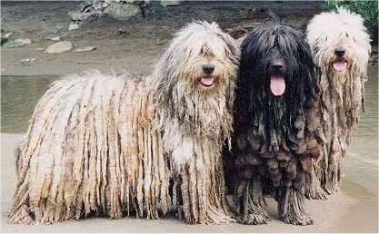 Three Bergamasco dogs standing on sand in front of a small body of water