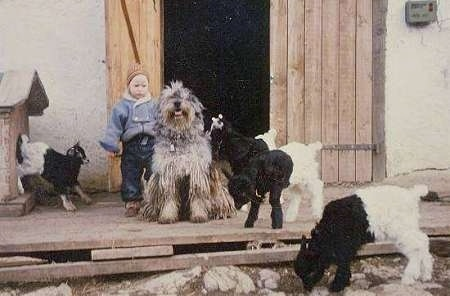 A Little boy standing next to a Bergamasco dog sitting on a porch with a herd of kid goats around them
