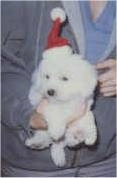 Bichon Frise puppy in a Santa hat with a person holding him