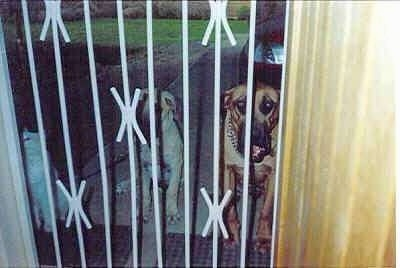 Maximillion and Trelsa Bianca the Boerboels sit together with the cat in front of the gate