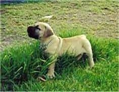 Maximillion the Boerboel as a puppy walking in to tall grass