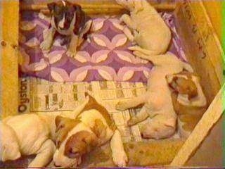 A litter of six Bull Terrier puppies in a whelping box