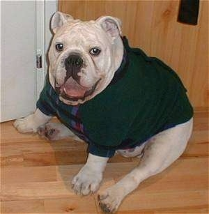 Clarence the English Bulldog wearing a green shirt sitting on a hardwood floor with its mouth open
